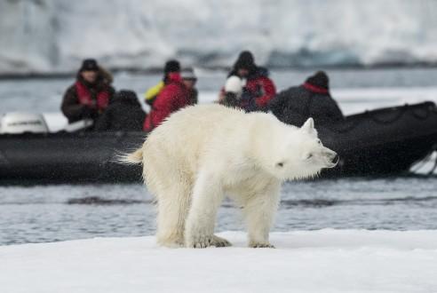 Svalbard Polar bear